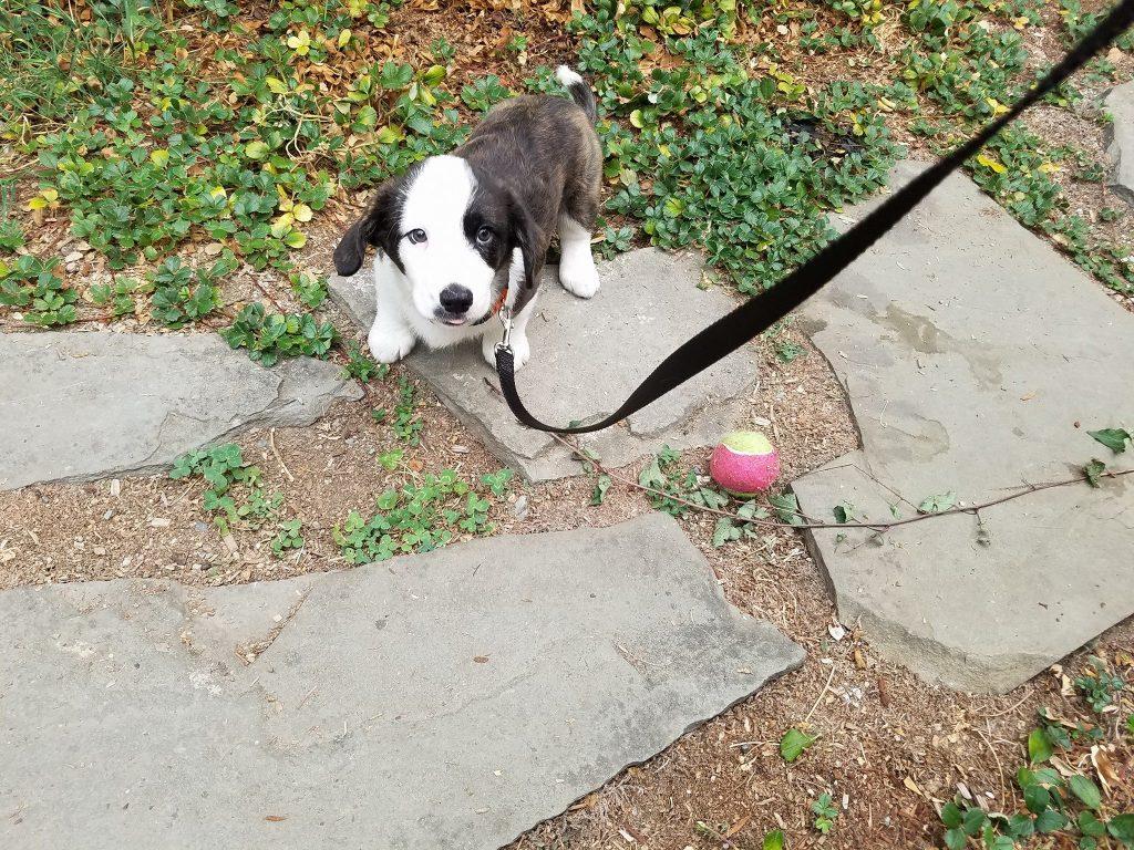 dog walking seattle